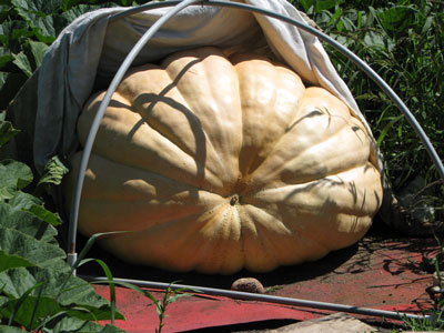 Good Shape and Big Pumpkin