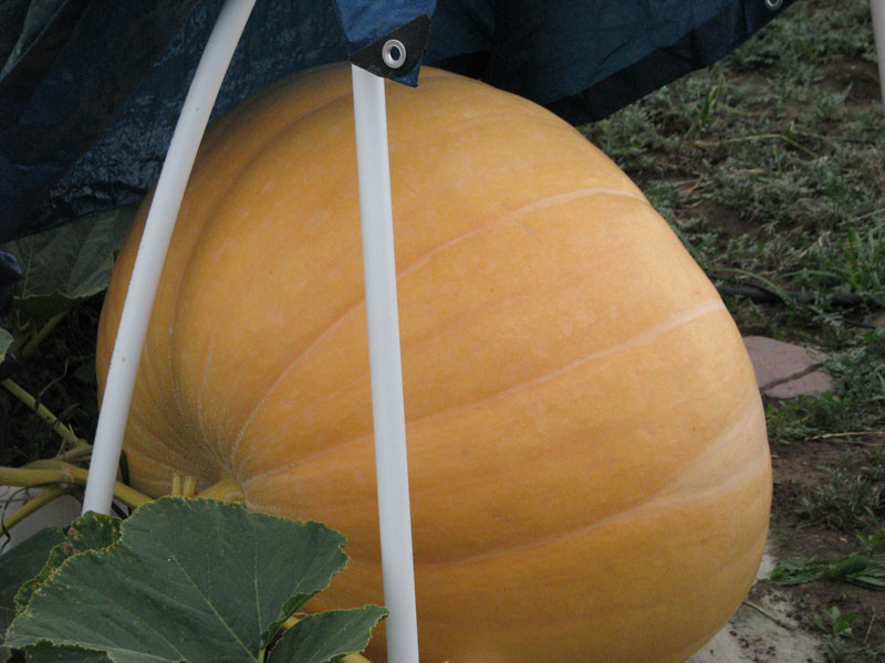 Giant Atlantic Dill Pumpkin