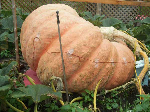 2011 World Pumpkin Record Side View