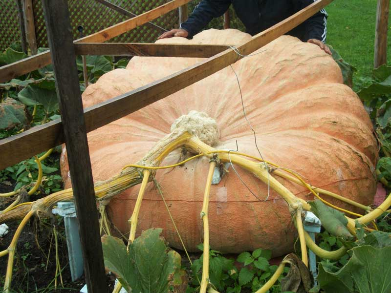 Another View of the 2011 World Record In The Pumpkin Patch