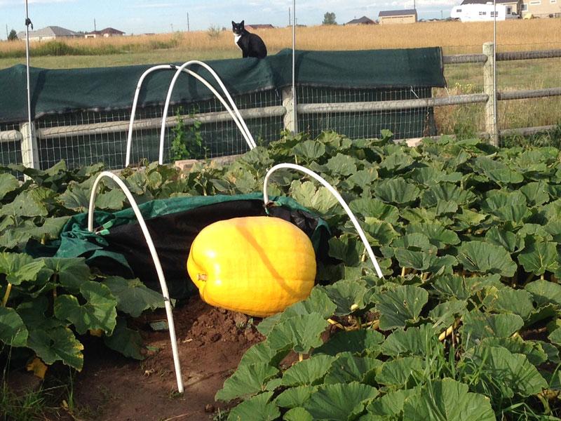 Corbin 1065 Pumpkin
